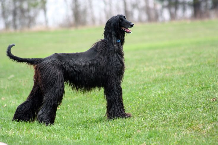 Good looking black afghan hound.
