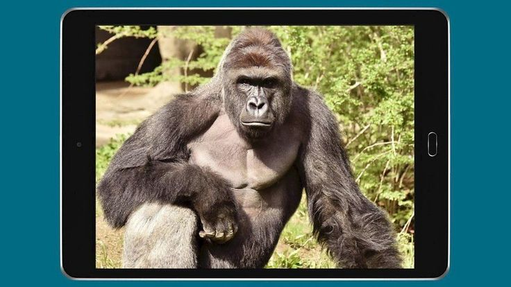Harambe: A year from gorilla death which sparked numerous memes - BBC News