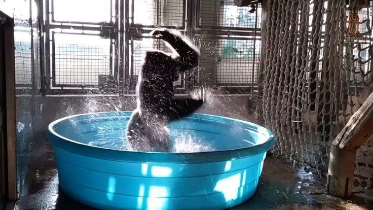 Splash 'dancing' at the Dallas Zoo with Zola the gorilla  - CNN.com