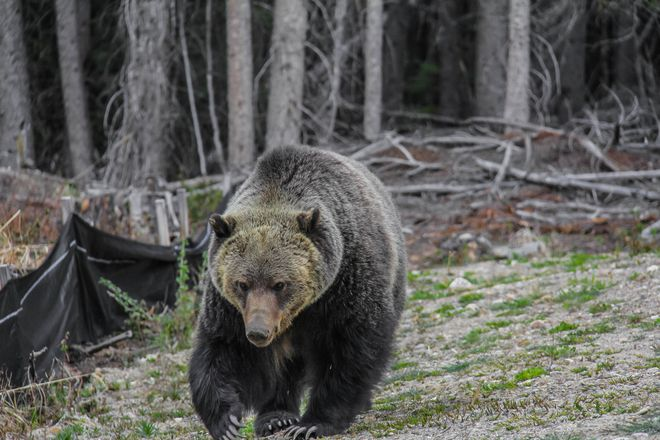 Grizzly up close in Canmore Alberta shot 5-21-12. Claims to be 6 feet away.