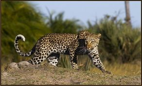 Leopard sightings have been outstanding at Kwetsani lately... http://www.wilderness-safaris.com/news/news_search/?id=2683=true=camp