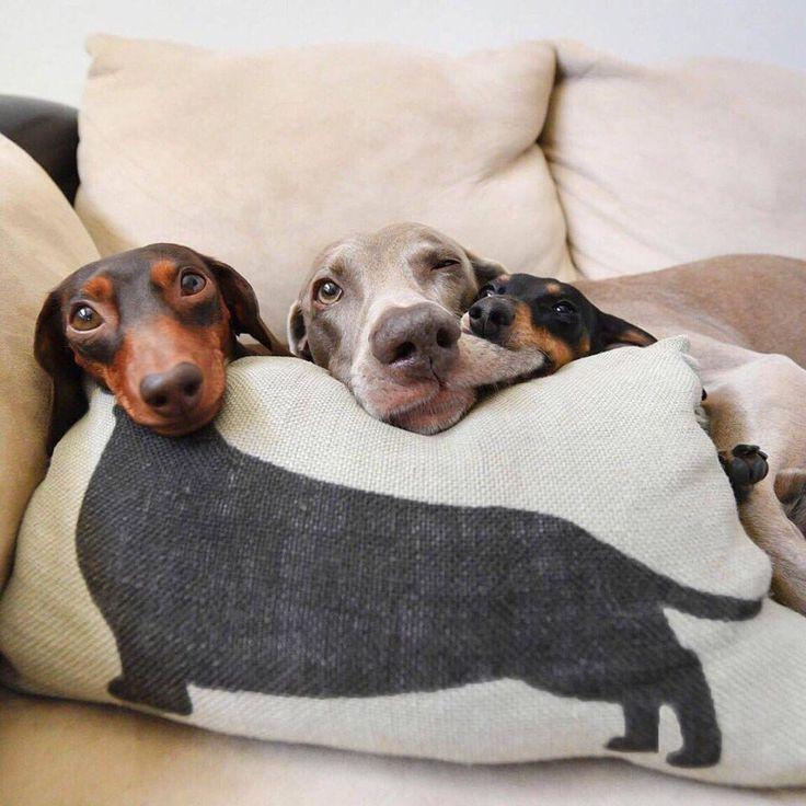 смешные картинки собак такс немного