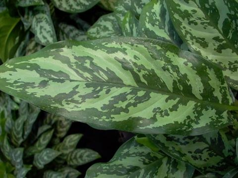 1000+ images about Aglaonema Varieties on Pinterest
