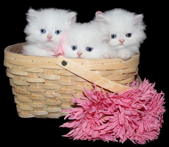 Teacup Kittens For Sale Persian Kittens Florida Doll Face Teacup Kitten Teacup Kittens For Sale Persian Kittens