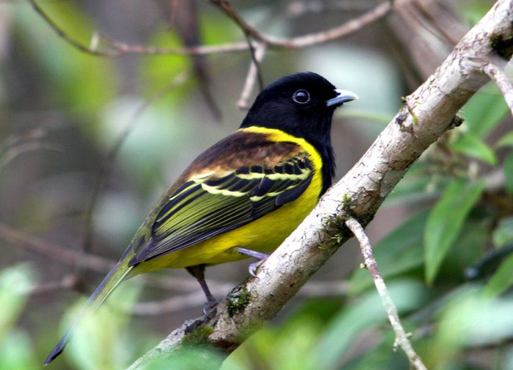 Hooded Berryeater, Carpornis cucullata, Brazilian Birds