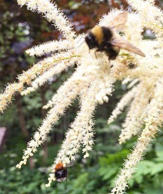 Mehiläiset ja töyhtöangervo.