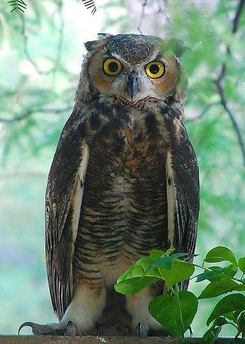 cd... Sonoran Desert Owl