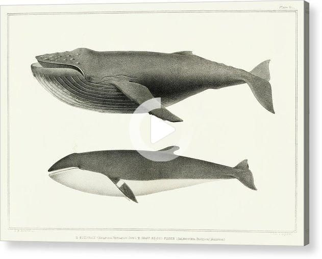 Vintage Whale Illustration Humpback Whale And Minke Whale Acrylic Print In 2020 Whale Illustration Whale Art Print Minke Whale