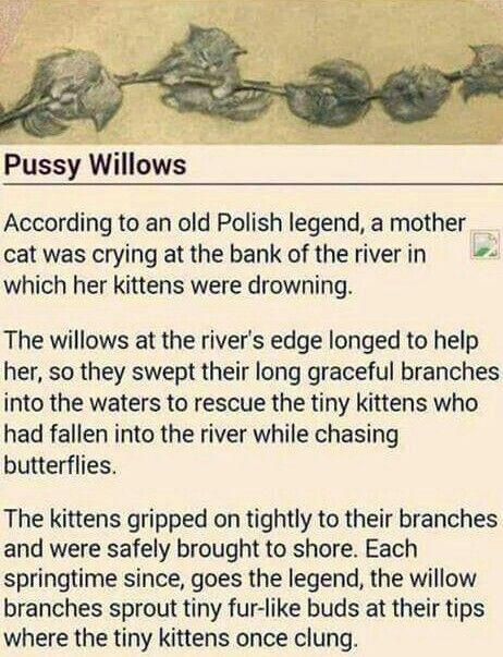 Legend of the pussy willow.