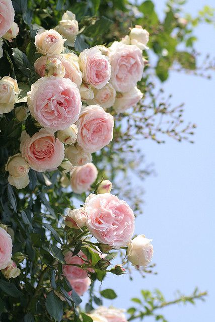 """Pink English Roses remind me of the """"Three Sisters"""" runners we had on Katherine St.  1 bloomed out, 1 blooming, 1 bud.  I loved those runners."""