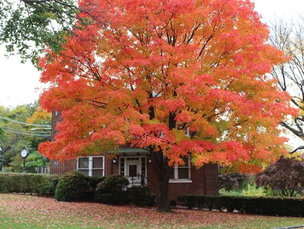 Best Trees To Plant In Your Front Yard Maple Tree Landscape Front Yard Tree Landscaping Trees To Plant