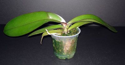 Re-potting a Phalaenopsis Orchid - step by step