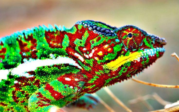Chameleon's Colour Magic Revealed