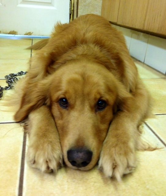 golden retriever rescue iowa 17 best images about adoptable goldens on pinterest 1908