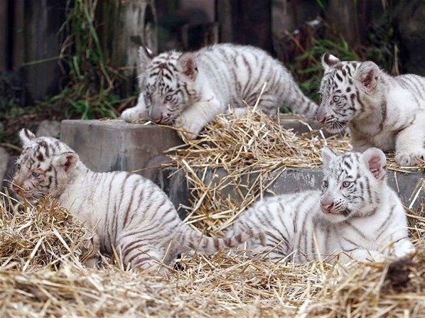 Grupo de tigres brancos é fotografado no zoológico de Buenos Aires, na Argentina                                                                                                                                                     Mais