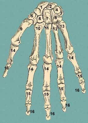 Human Hand Bones - Thumb by siderits.
