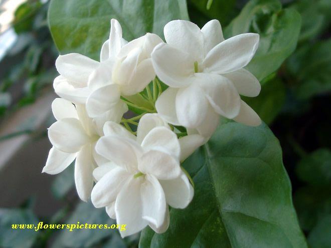 156 best Jasmine images on Pinterest Flowers Jasmine and Nature
