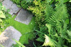 l'helxine est une mousse très décorative entre des pas japonais