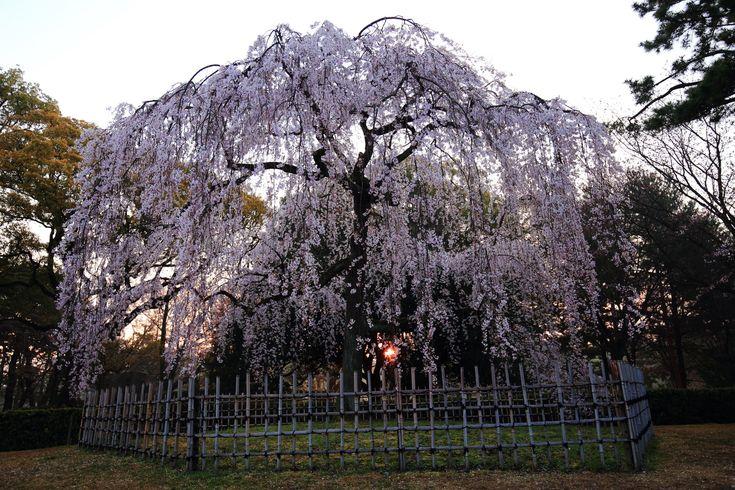 桜の名所の京都御苑の出水の糸桜(しだれ桜)と朝日