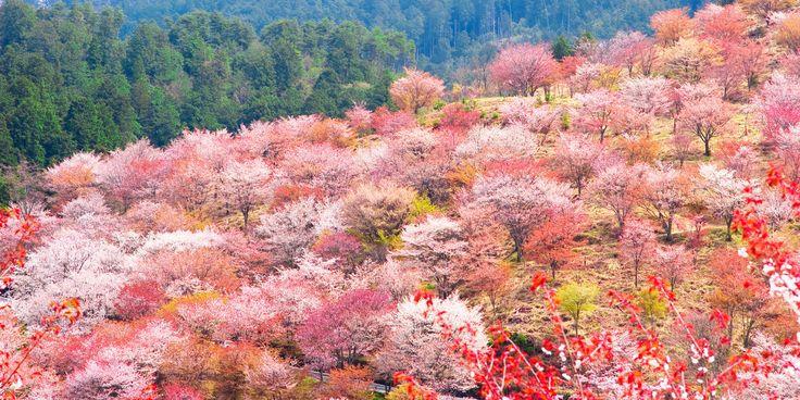 「吉野千本桜」 世界遺産の吉野山は、季節になるとたくさんの桜が咲き誇ります。その数なんと約200種3万本!「吉野千本桜」の名称で親しまれている、この美しすぎる桜姿。桜が密集しているエリアはそれぞれ下千本、中千本、上千本、奥千本と呼ばれており、一目に千本見える豪華さという意味で『一目千本』とも言われているんだとか。