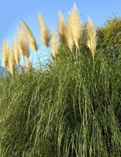 Growing pampas grass how to care for pampas grass for Can ornamental grasses grow in shade