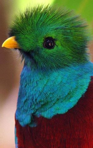 What a beautiful bird! The Quetzal is a bird belonging to the
