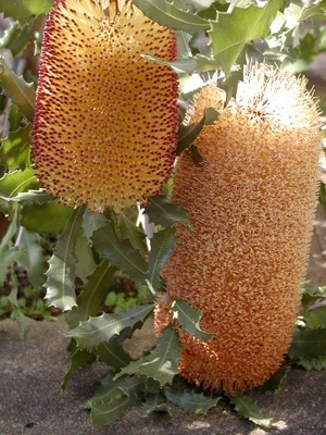 #Banksia Media Prostrate.   Australian native plant in Adelaide     -   http://vacationtravelogue.com We guarantee the best price