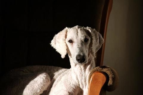 An Elegant Shaved Standard Poodle Taylor Photo By Cbrand