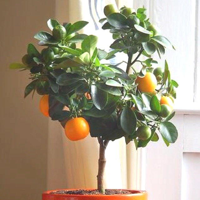 216 Best Citrus Trees Images On Pinterest Citrus Trees