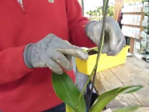 cure phalaenopsis dopo fioritura - YouTube