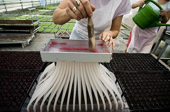 Az albertirsai gyógynövény-kertészetben nagyüzemi módszerekkel termelik a boltokba kerülő gyógynövény- és fűszerpalántákat.