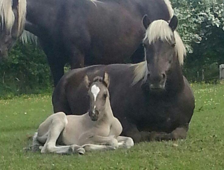 Brownbread Highland Ponies - Highlands for Sale - Brownbread Lilac filly
