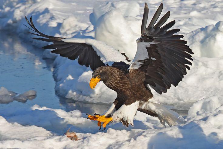 Stellar's Sea Eagle, Asian Sea Eagle Wingspan 6.4–8.2 ft, Length 2.8–3.4 ft, Weight Female 15–20 lbs, Male 11–13 lbs