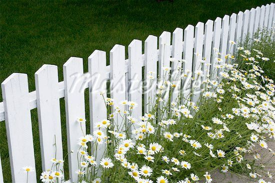 white picket fence and daisies