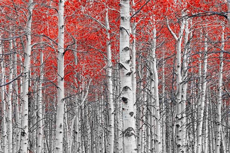 Trees with Red Leaves A Fine Art Wall Decor Photograph