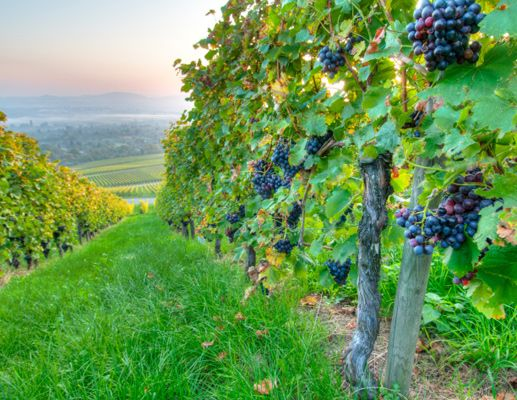 vineyard \\ bachelorette parties \\ Photo: Thinkstock / The Knot