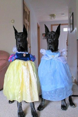 Mirror mirror on the wall, who is the prettiest Great Dane of them all? It's hard to choose with Petplan family members Tess and Colbi dressed in their Sunday best!