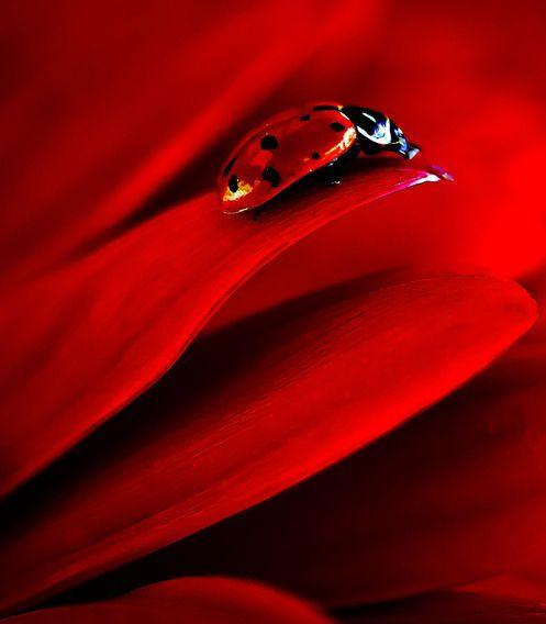 Red Flower and Ladybug by Janine Edmondson Plus