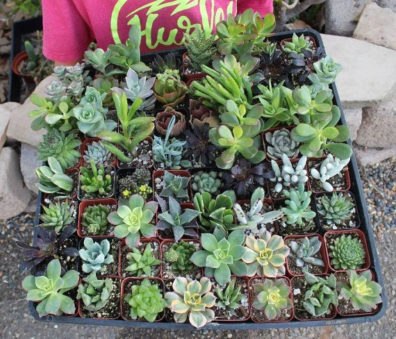 15 Gorgeous Assorted potted Succulent Collection 2 inch plastic pots succulents great for wedding gifts & FAVORS+