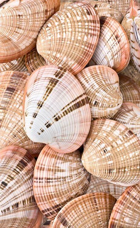 Maldivian Clam shells (Sally sells sea shells by the sea shore)
