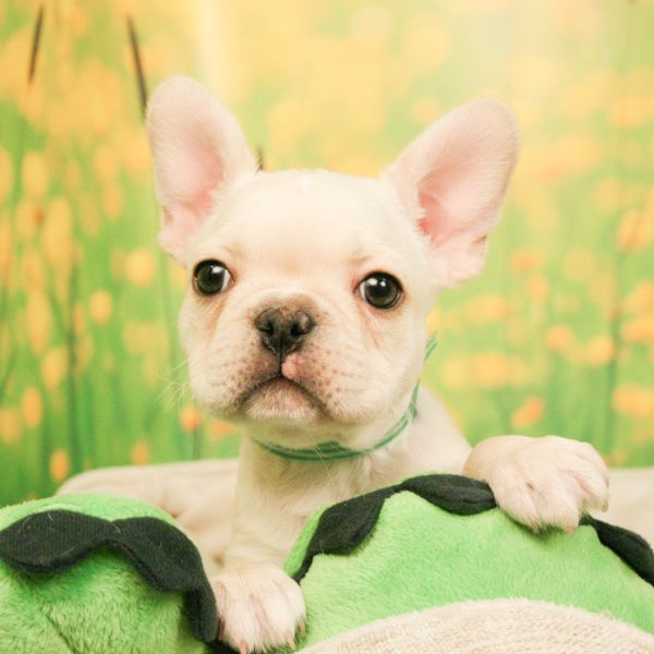 French Bulldog Puppies For Sale French Bulldog Puppies Puppies French Bulldog