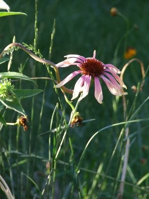 How to Grow Prairie Coneflowers from Seed