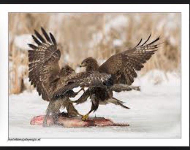 1. Je ziet hier de strijd tussen twee vogels om voedsel. De vogels zijn in gevecht met elkaar en hebben hun vleugels uitgezet om krachtiger over te komen.  2. De vogels staan in het midden van de compositie en komen extra naar voren in de foto omdat de achtergrondkleuren lichter zijn dan de vogels zelf. Het heeft een groot voor klein achter effect