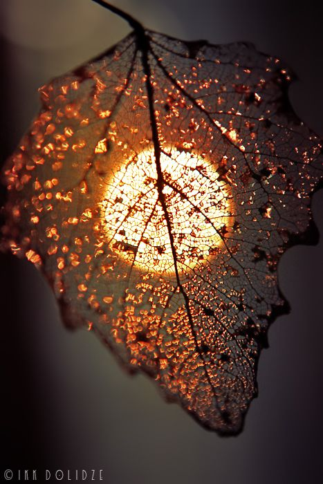 sunset through a dying leaf