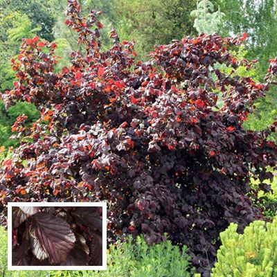 Corylus avellana 'Red Majestic' - Jacksons Nurseries