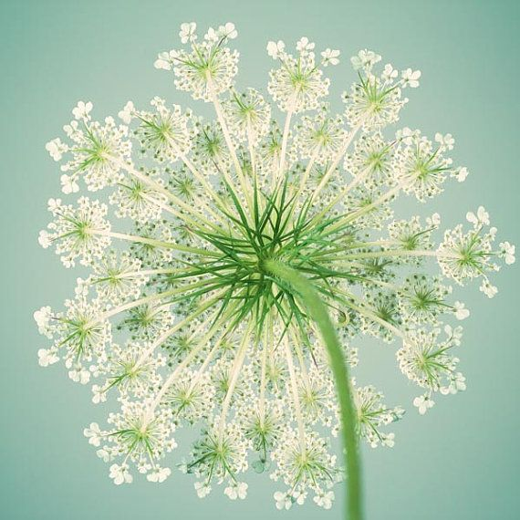 Flower Photography Queen Anne's Lace by RockyTopPrintShop on Etsy (Art & Collectibles, Photography, Color, Flower Photography, Queen Annes Lace, Botanical Print, Teal, Aqua, Summer, Fine Art Print, Nature Photography, 8x8, 10x10, 12x12, Queen Anne's Lace)
