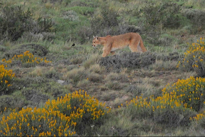 Puma, Torres del Paine National Park, Chile.  Photo: Dr. Charles A. Munn. Luxury Amazon & South American Wildlife Tours.