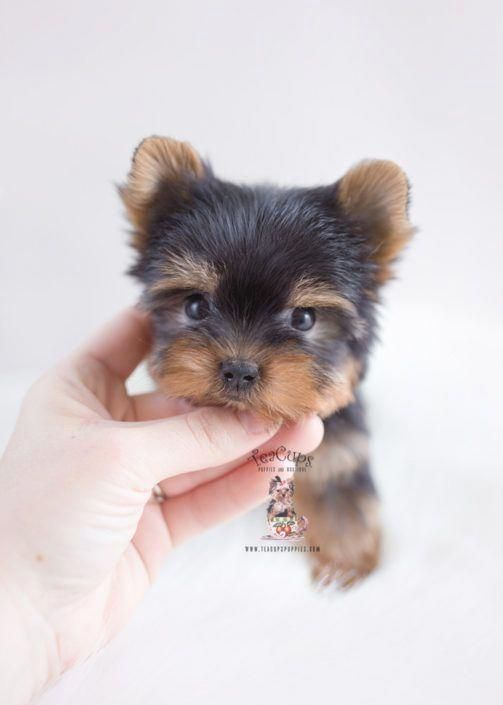 Image By Dogs On Yorkshire Yorkshire Terrier Puppies Yorkshire