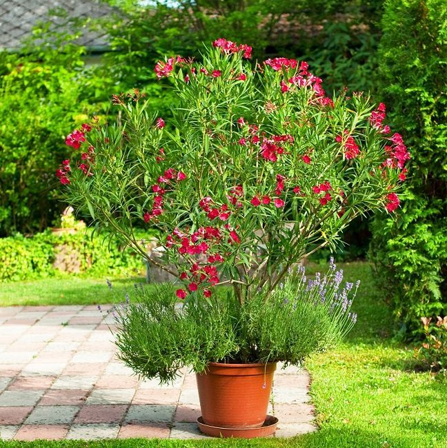 Oleander w doniczce