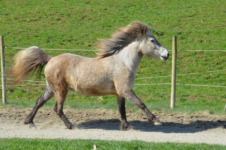 Islandpferde-Verkauf » Ósk vom Burrishof - Burrishof Islandpferde- und Fjordpferde-Gestüt